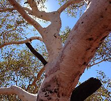 Pilbara - Snappy Gum by soulimages
