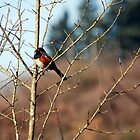 Red-Winged Blackbird by Lacey Kirsch
