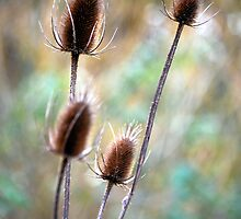 Thistles by Lacey Kirsch