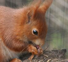 Red squirrel in the Scottish Highlands by orchidcat