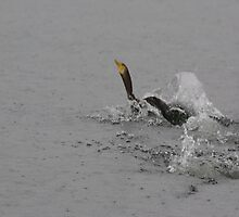 Cormorants Swimming After Diving Off Dock by Happystiltskin