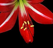 St. Joseph Lily II by Bonnie T.  Barry