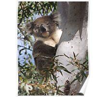 Koala - Coromandel Valley, South Australia Poster