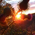Sunset Thistle (1) by lareejc