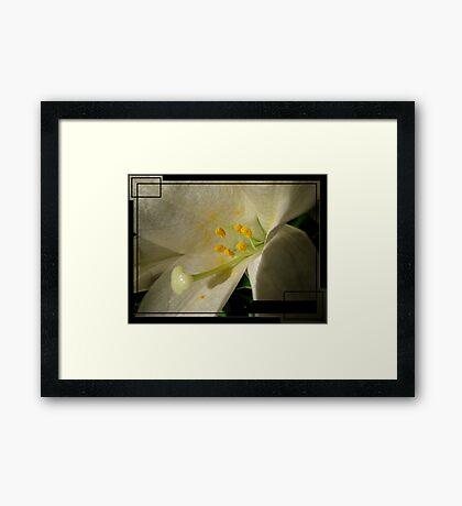 A Lily's Arousal Framed Print