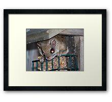 Flying Squirrel Framed Print