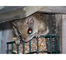 Flying Squirrel Photographic Print