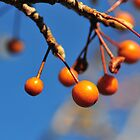 Orange Berries 3 by sydlow