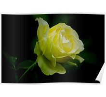 Yellow Rose. Poster