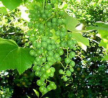 Green grapes by Paige