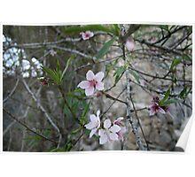 Peach Tree Blossom Poster
