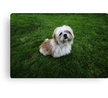 Cute Shih Tzu in the grass Canvas Print