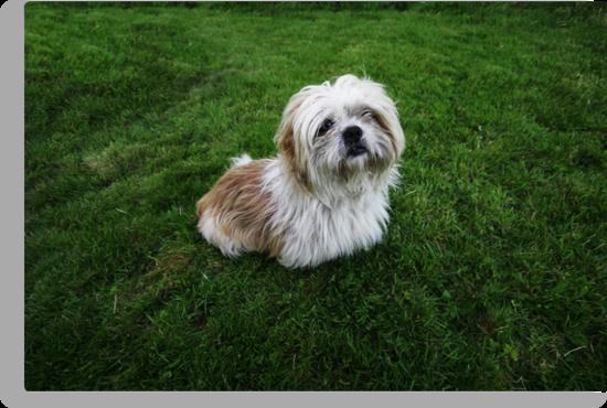 Cute Shih Tzu in the grass by Donncha O Caoimh
