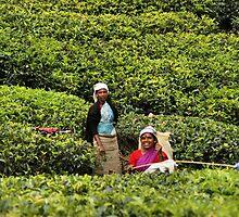 Tea Plantation by Kylie Reid