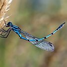 Blue Damsel by muzwilson