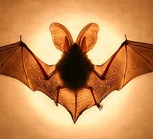 Bat by jimmy hoffman