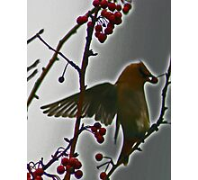 the waxwing and the berry Photographic Print