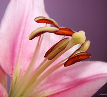 Homegrown Beauty/Lilies by sknelson