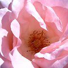 Pale pink rose by kenwalters