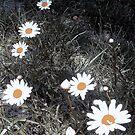 abstract daisies by Sandra Hopko