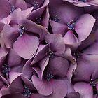 Purple Hydrangea by KJREAY