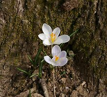 Cozy Crocus by Adrena87