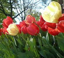 Tulips by Kenneth Westling