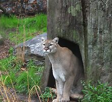 Cool Cougar by Walter Collazo