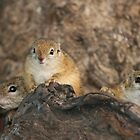 Ground Squirrel nest by amjaywed