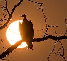 vulture sundown by paulgadd