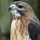 Swanson's Hawk by Rock Mollica