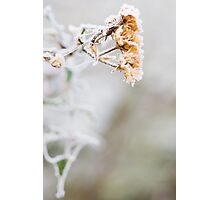 Iced Flower Photographic Print