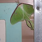 Pretty Green Luna Moth by turkeylegs