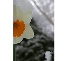 Daffodil sneaking up on Winter Photographic Print