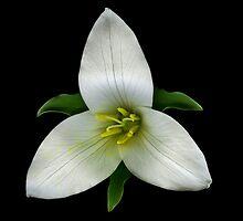 Trillium flower by Jeffrey  Sinnock