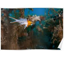 Underwater photography of a Lyretail hogfish Poster