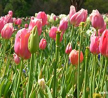 Tulips in Pink by mwfoster