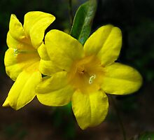 Carolina Yellow Jessamine (Gelsemium sempervirens) by William Tanneberger