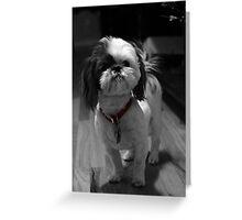 Shitzu - Red Collar Greeting Card