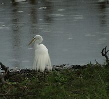 Great White Egret by Nigel Roulston