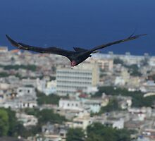 Cuban Turkey Vulture by Nigel Roulston