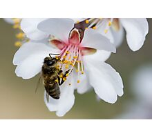 Provincial Bee Photographic Print