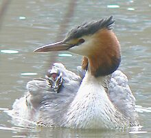 A Grebe And It's Chick by AARDVARK