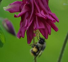 Bumble Bee With Massive Pollen Sacks On A Columbine by Happystiltskin