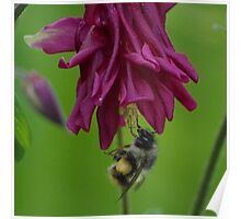 Bumble Bee With Massive Pollen Sacks On A Columbine Poster