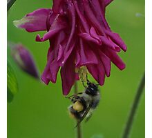 Bumble Bee With Massive Pollen Sacks On A Columbine Photographic Print