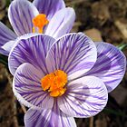 pickwick crocus - two o'clock by foozma73