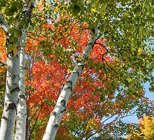 Birch trees in fall by brians101