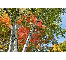 Birch trees in fall Photographic Print