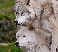 Arctic Wolf - The White Ghost Of The North 4 by WolvesOnly